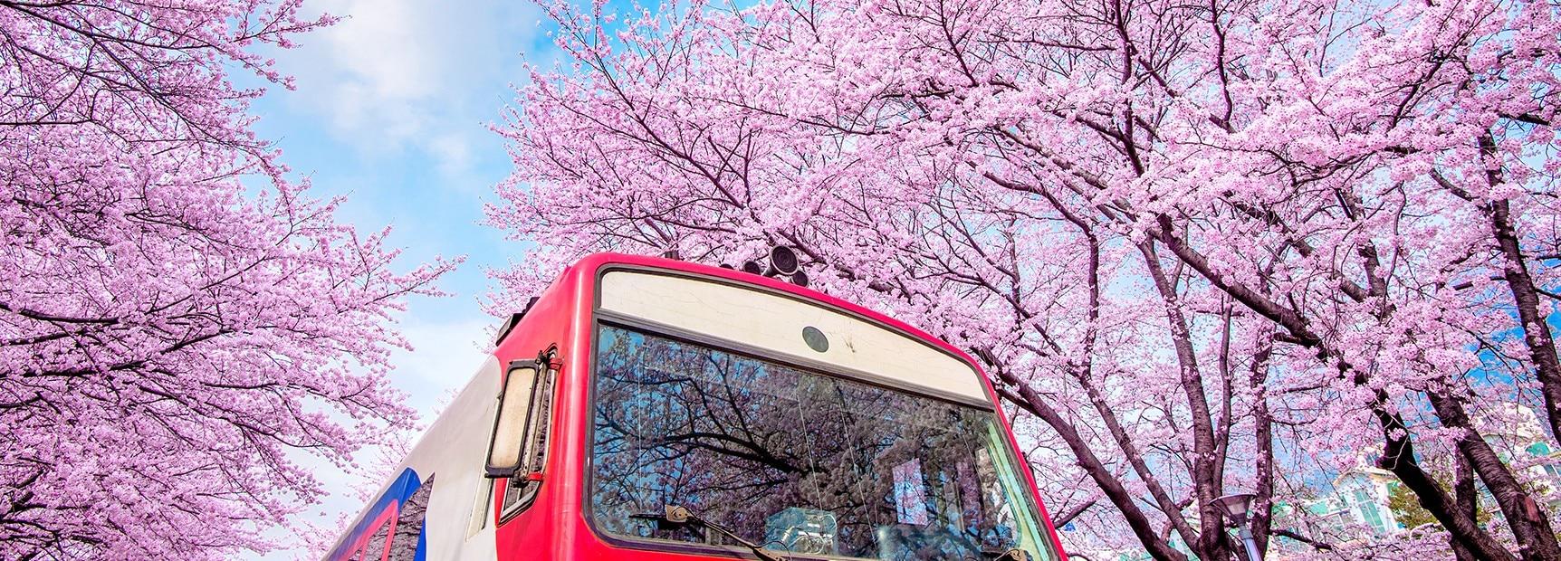 Korea S Beautiful Blossom Season Bbc Earth
