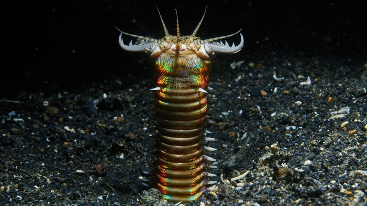 the Bobbit worm