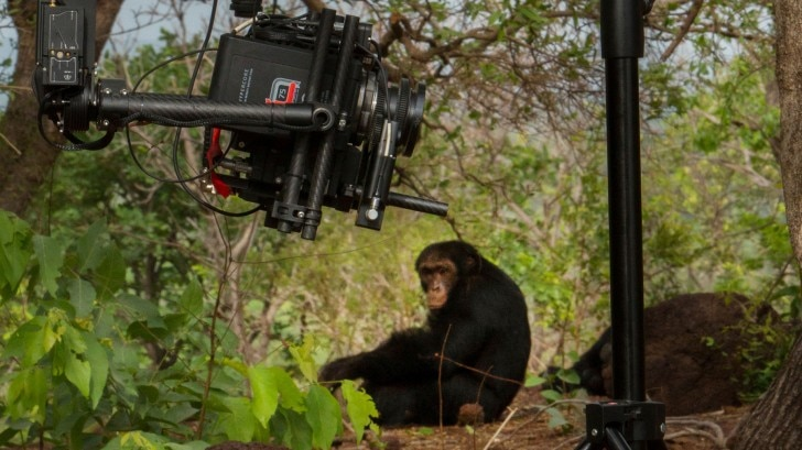 chimp being filmed by a camera