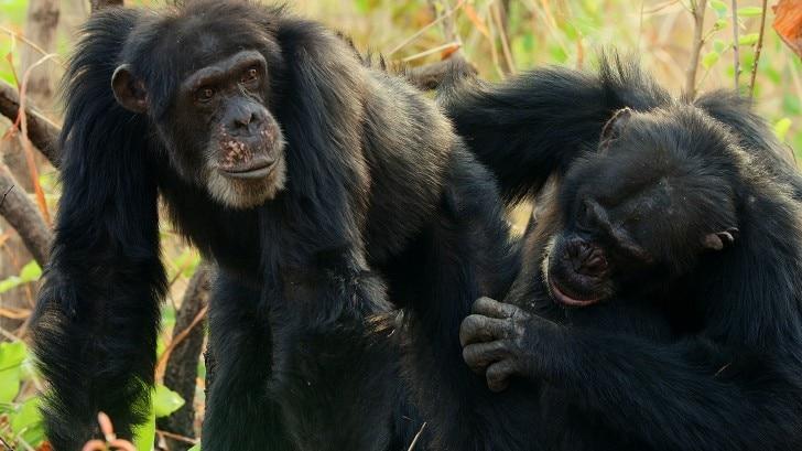 chimps cuddling