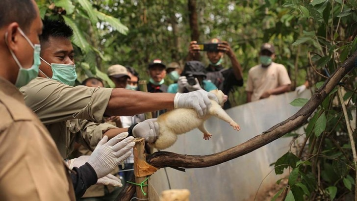 a slow loris being released into the wild