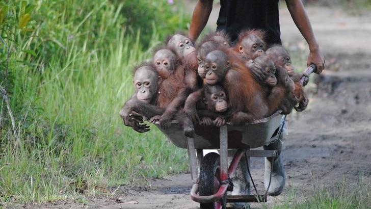 young orangutans in a wheelbarrow