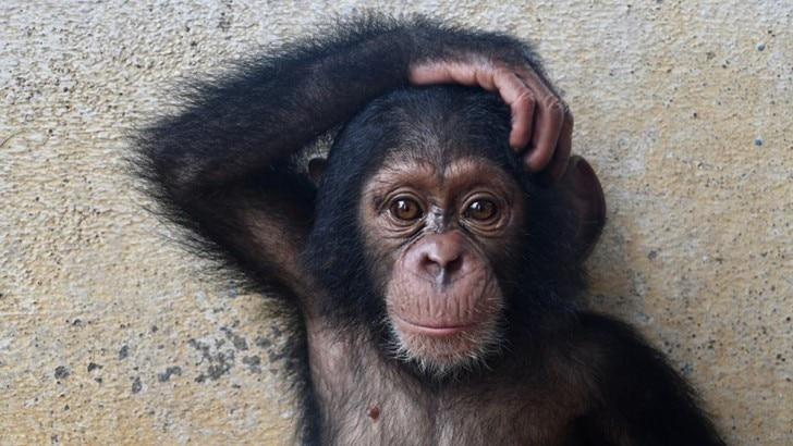 a chimp