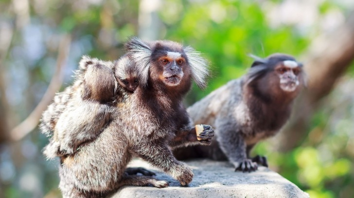 a group of marmosets
