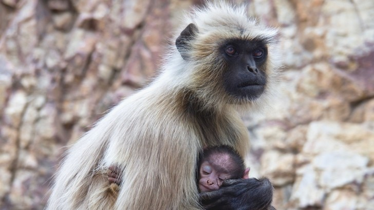Marmoset mother with her babies