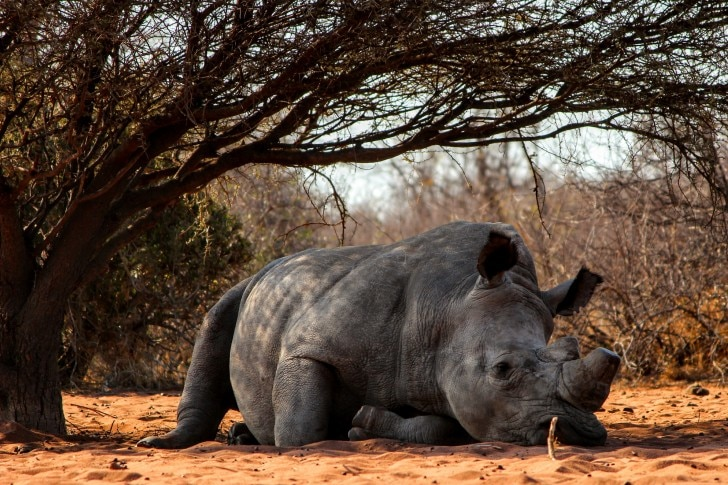 a rhino with a shaved horn