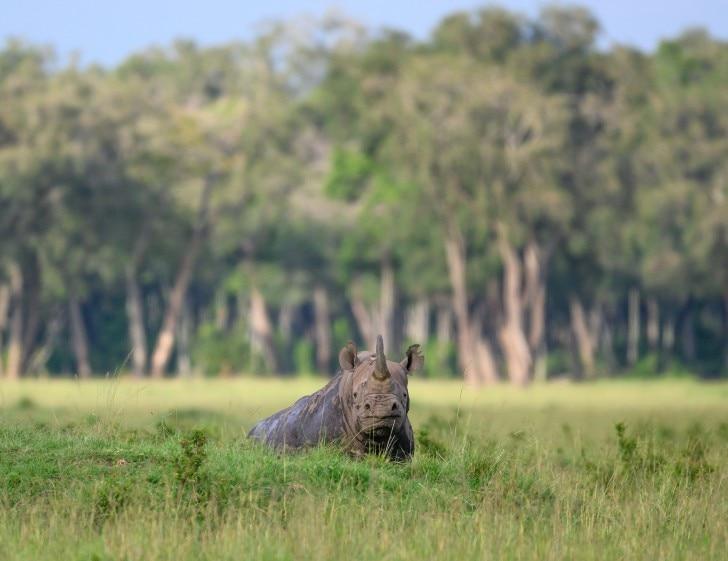 a rhino lying down