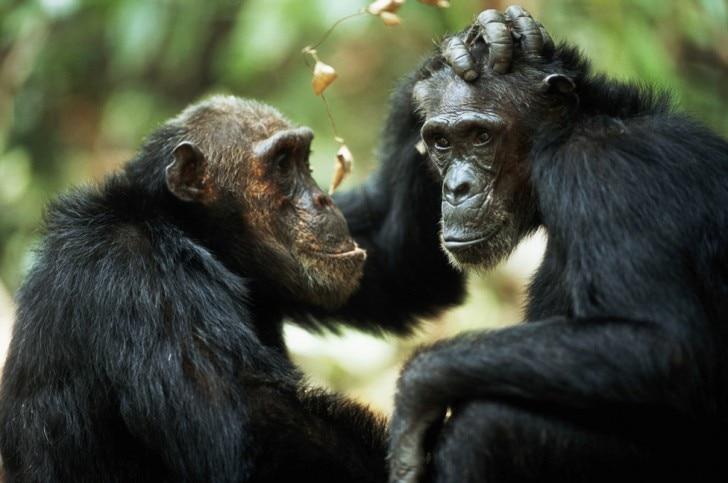 two chimpanzees touching