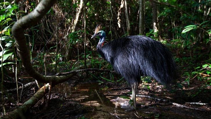 southern cassowaries