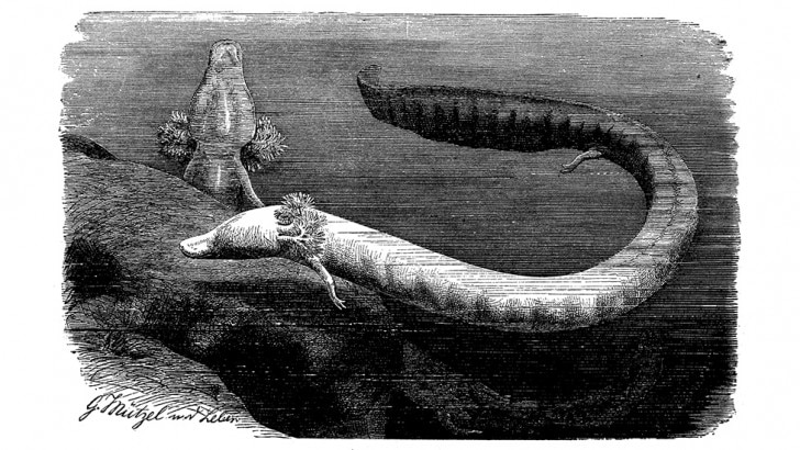 drawing of an olm
