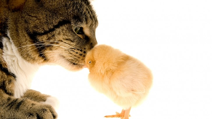 cat and a chick kissing