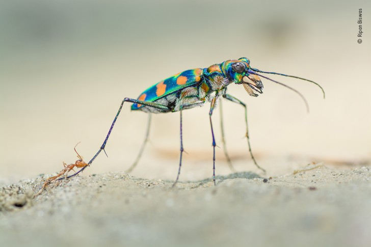 a giant riverine tiger beetle and weaver ants