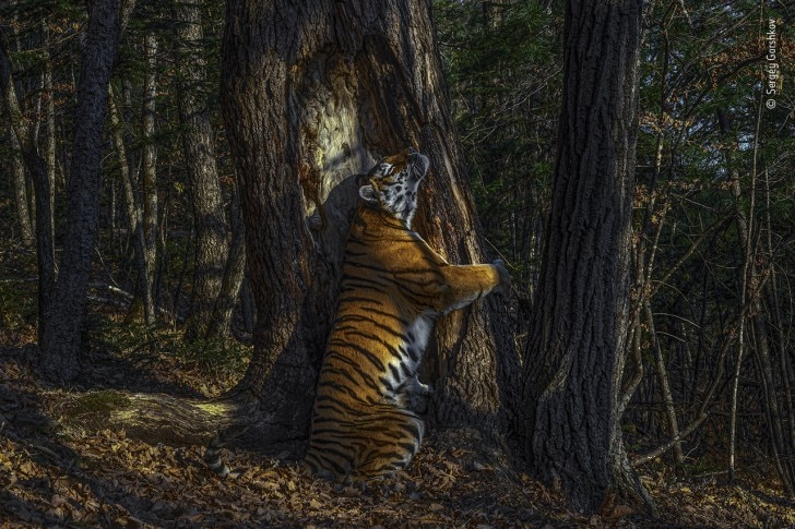 tiger and tree