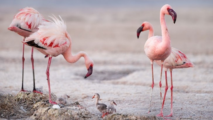 Two lesser flamingoes feed their chick