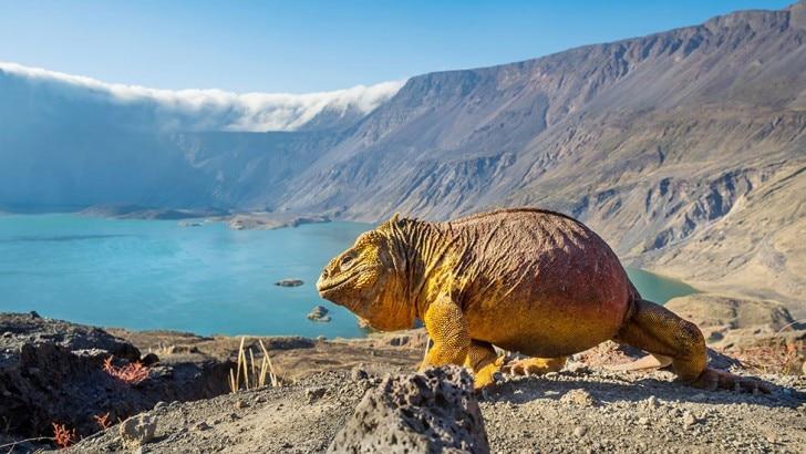 Galapagos land iguana on crater edge