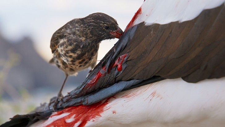 Vampire finch feeds on Nazca booby