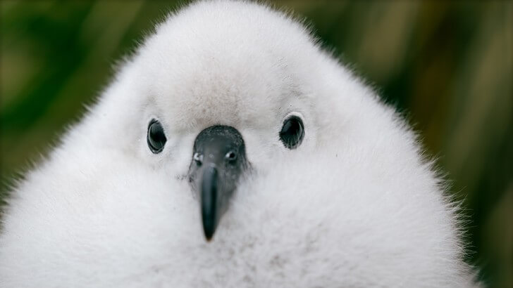 A grey-headed albatross chick