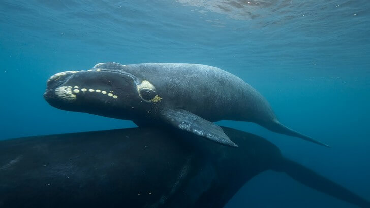 A southern right whale hitches a lift on top of another whale