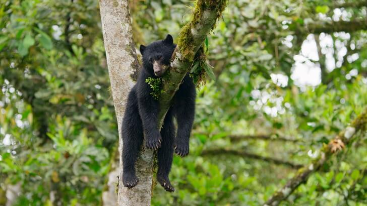 An Andean bear rests in a tree