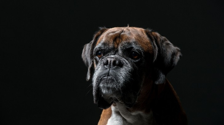 A photo of a brindle-coloured Boxer dog