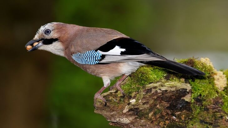 A jay perching on a mossy tree stump