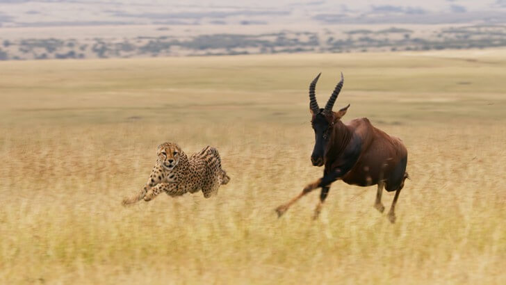 A cheetah chases an antelope in the grassland