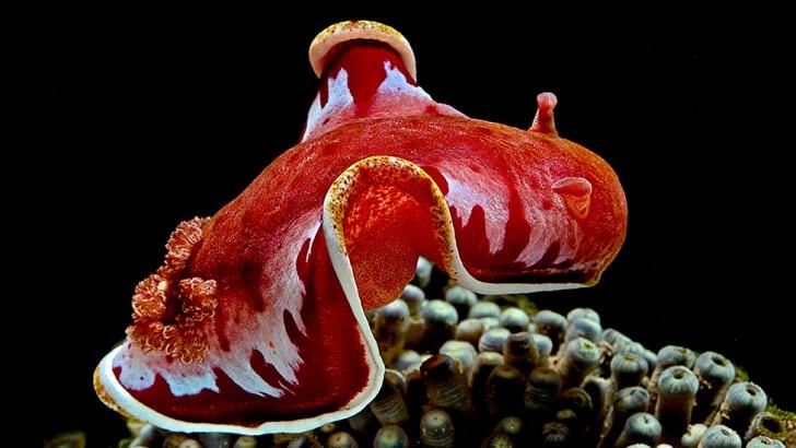 A red sea slug that looks like a flamenco dancer