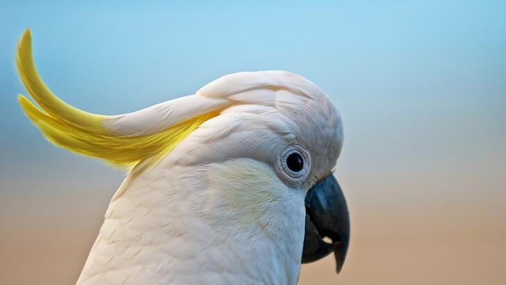 A photo of an Eleonora cockatoo in profile