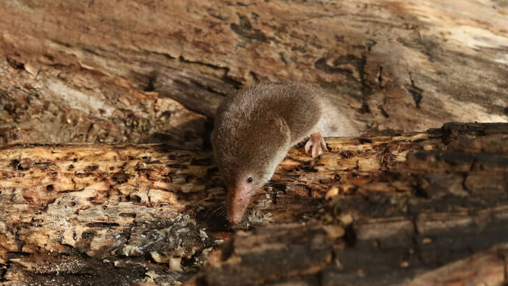 A common shrew on a piece of wood