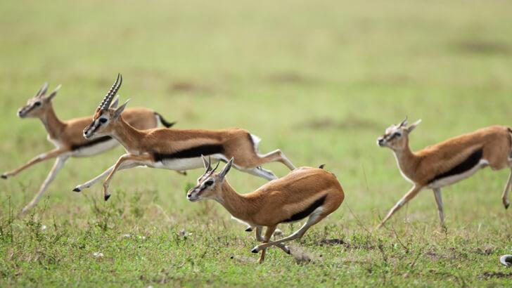 Four Thomson's gazelle ran across grasslands