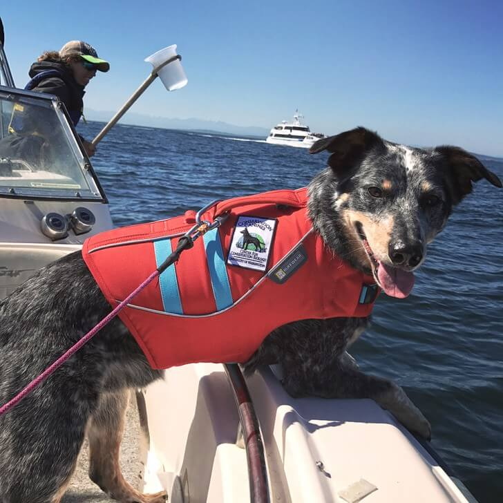 A dog in a harness looking over the side of a boat