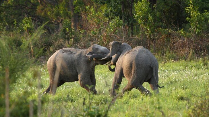 Two elephants in musth, fighting