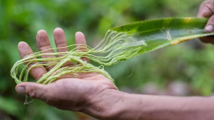 A shredded pineapple leaf is held in a man's hand