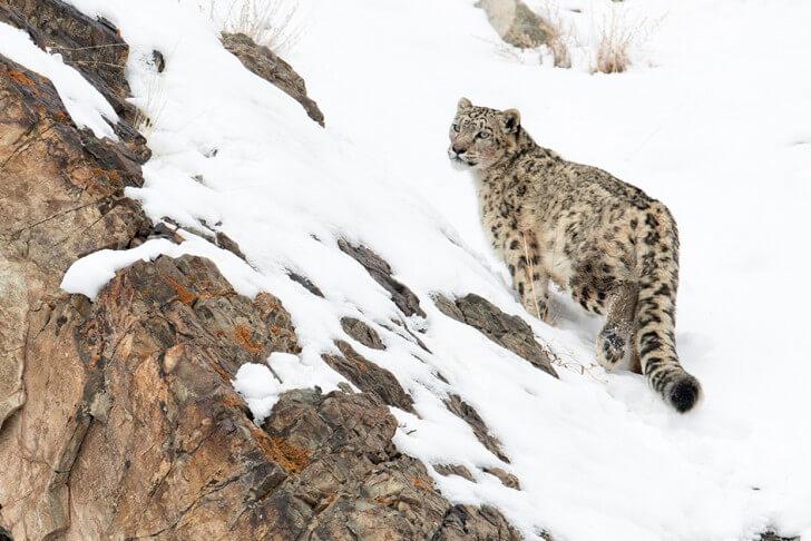 A snow leopard on a snowy mountain edge