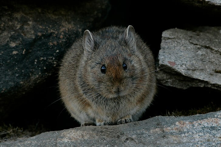 The large-eared pika sitting in a gap between rocks in the Himalayas