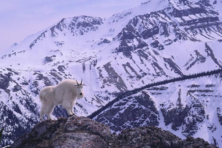 A wild mountain goat in a snowy landscape