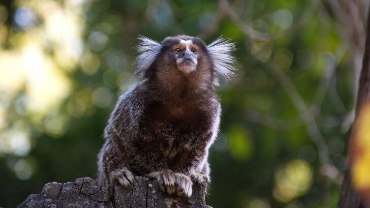 A marmoset sits on top of a tree stump in a forest