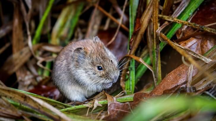 A vole sitting in vegetation