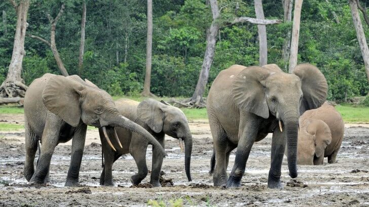 A herd of elephants in the mud