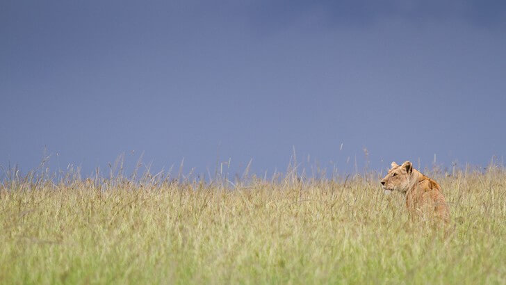 A lioness is pictured sitting in grassland