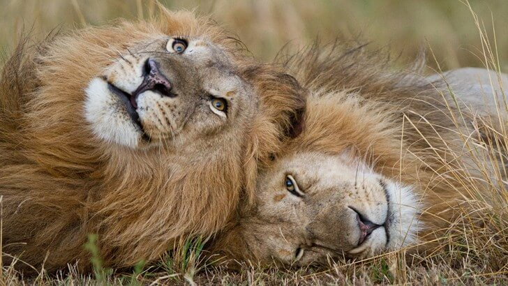 Two lions lie down and relax head-to-head on the grassland