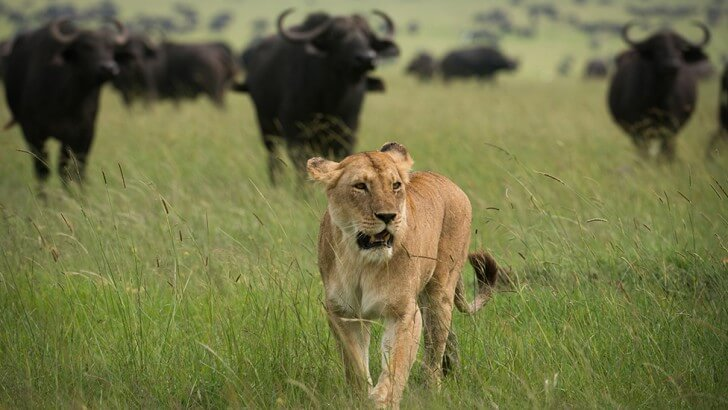 A lioness walks in front of a herd of buffalo in grassland