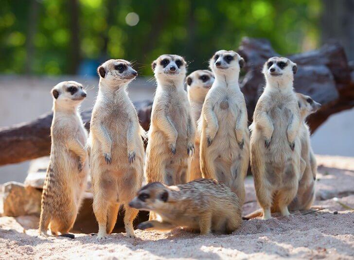 A group of meerkats standing up