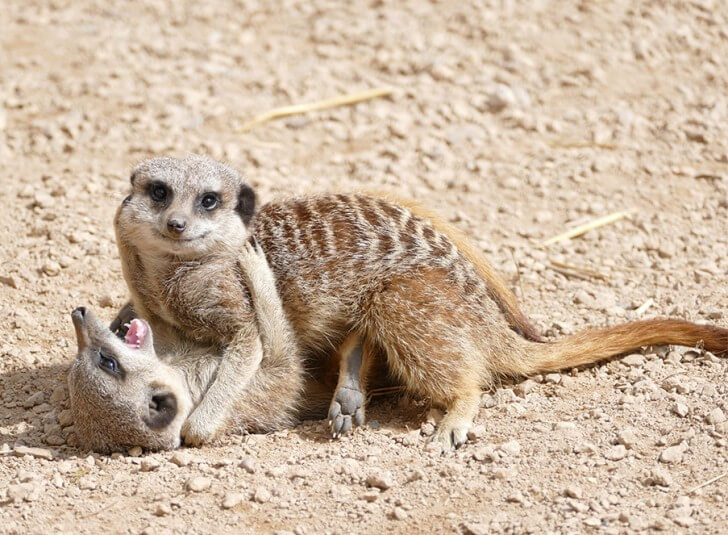 Two meerkats tussle on the ground