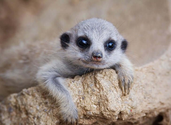 A baby meerkat looks into the camera