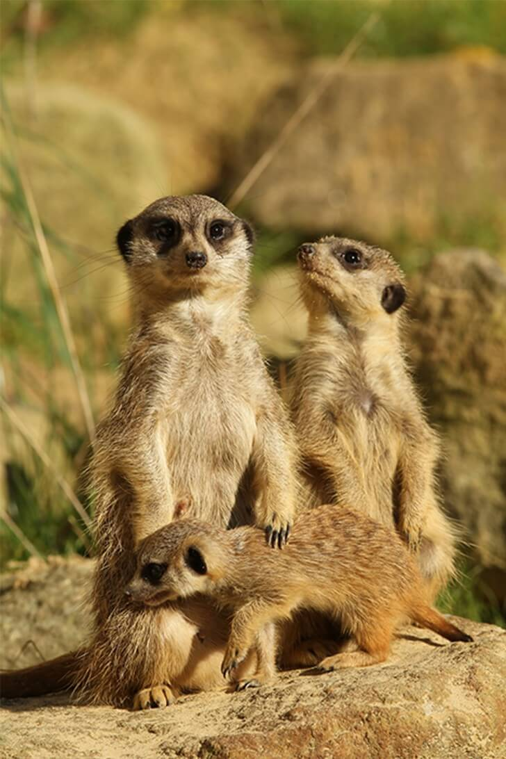 Two adult meerkats and a baby meerkat