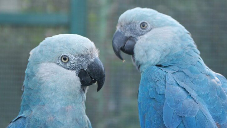 Two blue Spix's macaws