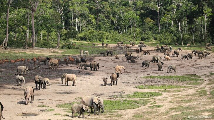 Dozens of Forest Elephants gather at Dzanga Bai in the Central African Republic
