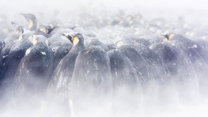 A huddle of male Emperor penguins incubating their eggs in the snow