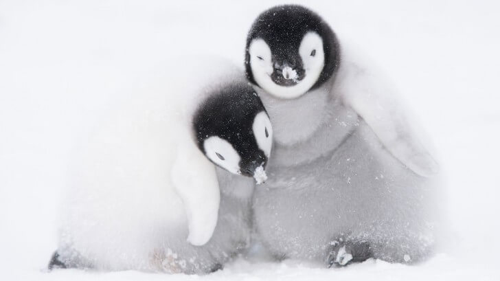 A pair of 6-week-old Emperor penguin chicks huddle together for warmth